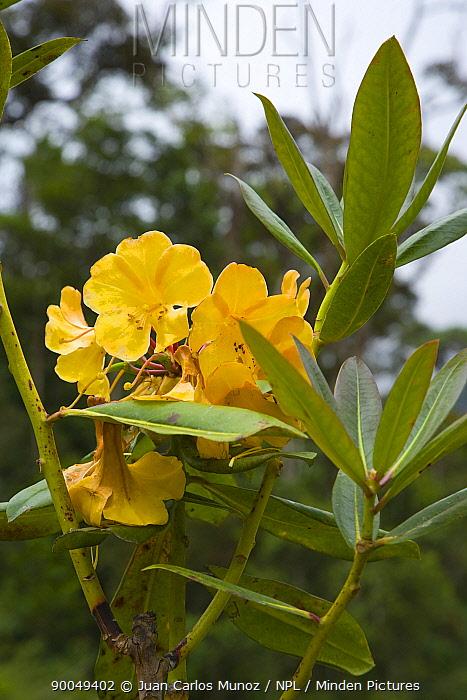 Rhododendron flower, Mount Kinabalu NP, Sabah, Borneo, Malaysia  -  Juan Carlos Munoz/ npl