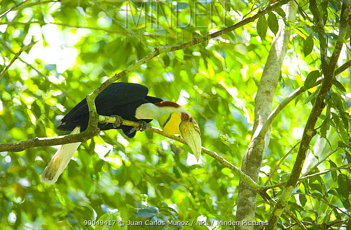 Wreathed hornbill (Rhyticeros undulatus) male perched in rainforest, Mount Kinabalu NP, Sabah, Borneo, Malaysia  -  Juan Carlos Munoz/ npl