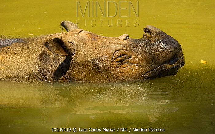Sumatran Rhinoceros (Dicerorhinus sumatrensis) wallowing in water, Mount Kinabalu National Park, Sabah, Borneo, Malaysia  -  Juan Carlos Munoz/ npl