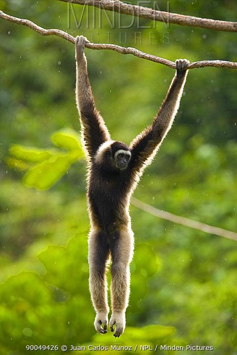 M?ller's Bornean Gibbon (Hylobates muelleri) hanging from branch in rainforest, Mount Kinabalu National Park, Sabah, Borneo, Malaysia  -  Juan Carlos Munoz/ npl