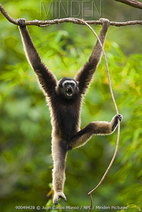 M?ller's Bornean Gibbon (Hylobates muelleri) swinging from branch in rainforest, using foot to grip plant vine, calling, Mount Kinabalu National Park, Sabah, Borneo, Malaysia  -  Juan Carlos Munoz/ npl
