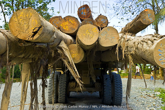 Rainforest timber being transported from Danum Valley forest reserve, Sabah, Borneo, Malaysia  -  Juan Carlos Munoz/ npl