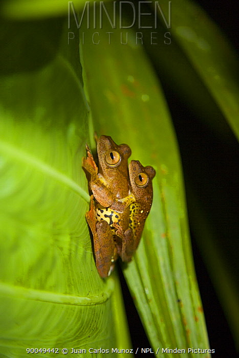 Bornean Eared Frog (Polypedates otilophus) mating pair, Danum Valley forest reserve, Sabah, Borneo, Malaysia  -  Juan Carlos Munoz/ npl