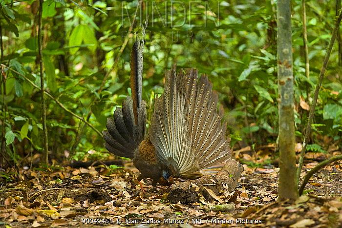 Great Argus Pheasant (Argusianus argus) male displaying, Danum Valley forest reserve, Sabah, Borneo, Malaysia  -  Juan Carlos Munoz/ npl