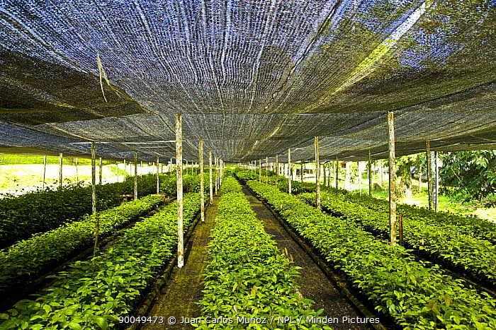 Seedling rainforest trees growing under awnings in nursery, part of the Sustainable Forest Project, Danum valley forest reserve, Sabah, Borneo, Malaysia  -  Juan Carlos Munoz/ npl