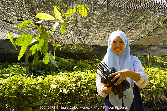 Woman collects seedling rainforest trees growing under awnings in nursery, part of the Sustainable Forest Project, Danum valley forest reserve, Sabah, Borneo, Malaysia  -  Juan Carlos Munoz/ npl