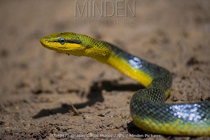 Red tailed rat snake (Gonyosoma oxycephalum) Danum Valley Forest Reserve, Sabah, Borneo, Malaysia  -  Juan Carlos Munoz/ npl