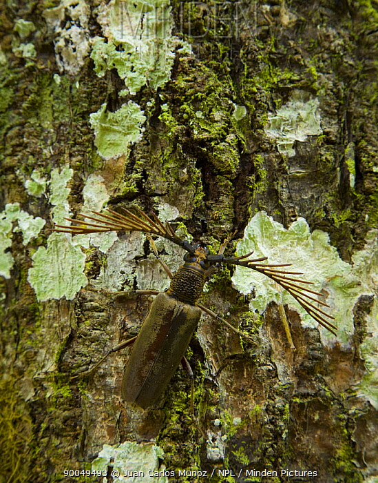 Longhorn Beetle (Cerambycidae) on tree trunk in rainforest habitat, Danum Valley reserve, Sabah, Borneo, Malaysia  -  Juan Carlos Munoz/ npl