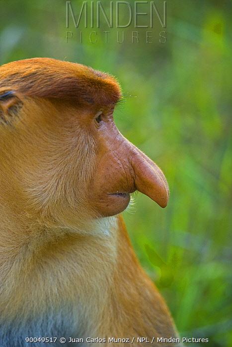 Proboscis Monkey (Nasalis larvatus) male portrait, Rio Sungai Kinabatangan, Sabah, Borneo, Malaysia  -  Juan Carlos Munoz/ npl