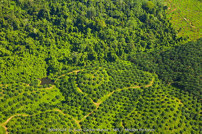 Aerial view of palm oil plantations in deforested area, Rio Sungai Kinabatangan, Sabah, Borneo, Malaysia  -  Juan Carlos Munoz/ npl