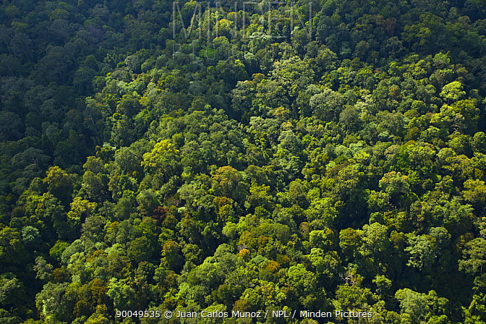 Aerial view of lowland rainforest, Sabah, Borneo, Malaysia  -  Juan Carlos Munoz/ npl