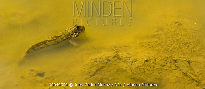 Mudskipper (Periophthalmus sp) Labuk Bay, Sandakan, Sabah, Borneo, Malaysia  -  Juan Carlos Munoz/ npl