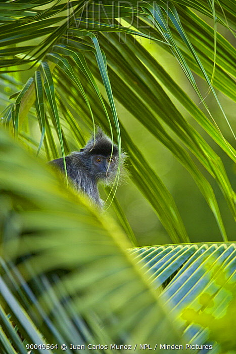 Silvered langur (Presbytis cristata) in palm tree, Labuk Lake sanctuary, Sabah, Borneo, Malaysia  -  Juan Carlos Munoz/ npl