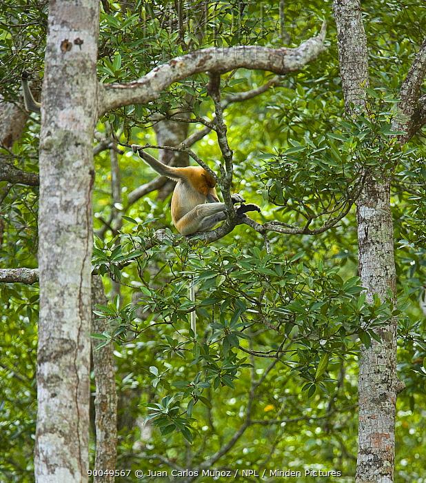 Proboscis Monkey (Nasalis larvatus) sitting in lowland rainforest tree, Rio Sungai Kinabatangan, Sabah, Borneo, Malaysia  -  Juan Carlos Munoz/ npl