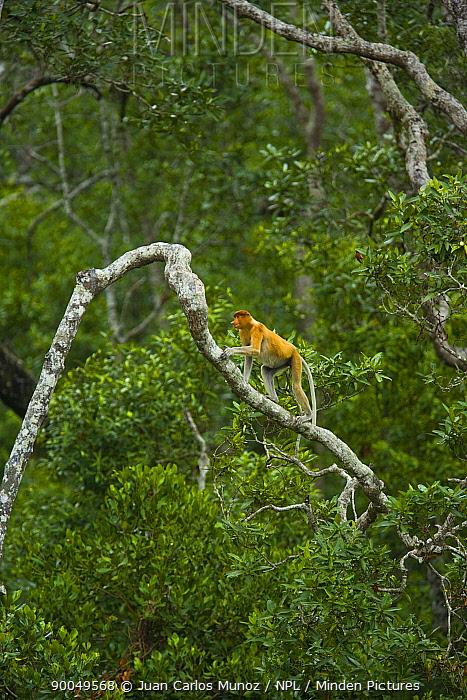 Proboscis Monkey (Nasalis larvatus) male in lowland rainforest tree, Rio Sungai Kinabatangan, Sabah, Borneo, Malaysia  -  Juan Carlos Munoz/ npl