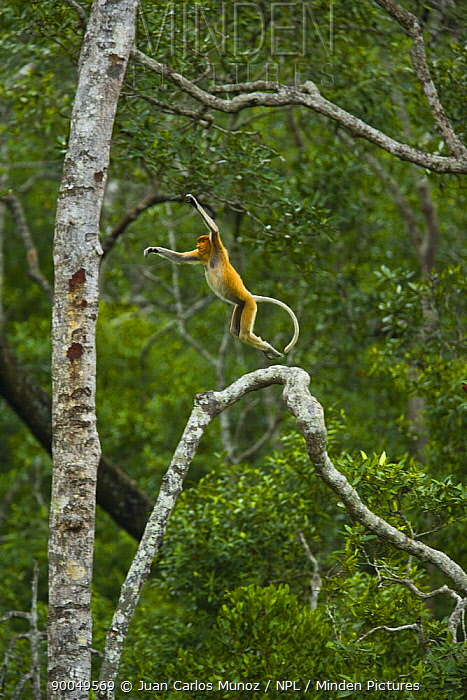 Proboscis Monkey (Nasalis larvatus) male leaping through lowland rainforest trees, Rio Sungai Kinabatangan, Sabah, Borneo, Malaysia  -  Juan Carlos Munoz/ npl