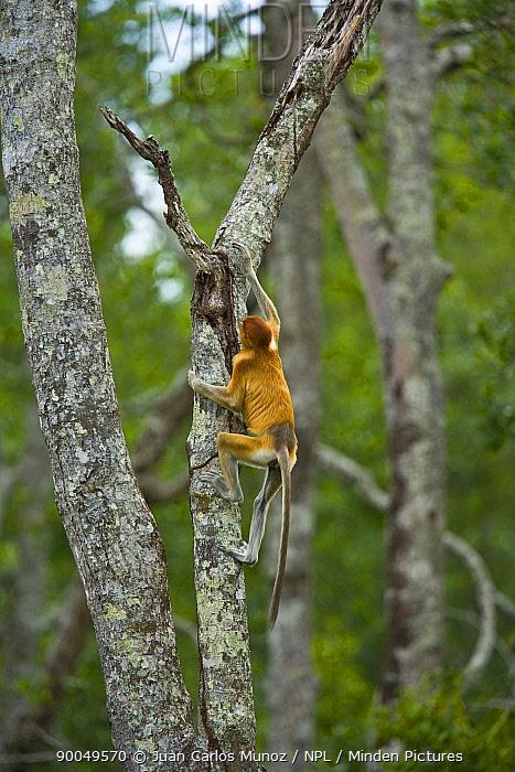 Proboscis Monkey (Nasalis larvatus) climbing lowland rainforest tree, Rio Sungai Kinabatangan, Sabah, Borneo, Malaysia  -  Juan Carlos Munoz/ npl