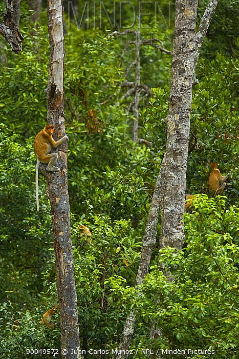 Proboscis Monkey (Nasalis larvatus) group feeding in lowland rainforest, Rio Sungai Kinabatangan, Sabah, Borneo, Malaysia  -  Juan Carlos Munoz/ npl