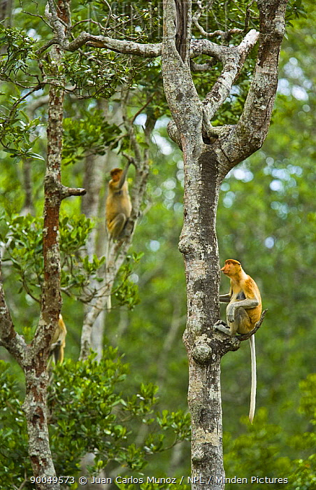 Proboscis Monkey (Nasalis larvatus) group in lowland rainforest, Rio Sungai Kinabatangan, Sabah, Borneo, Malaysia  -  Juan Carlos Munoz/ npl