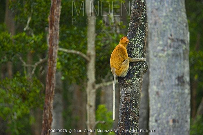 Proboscis Monkey (Nasalis larvatus) on trunk of lowland rainforest tree, Rio Sungai Kinabatangan, Sabah, Borneo, Malaysia  -  Juan Carlos Munoz/ npl