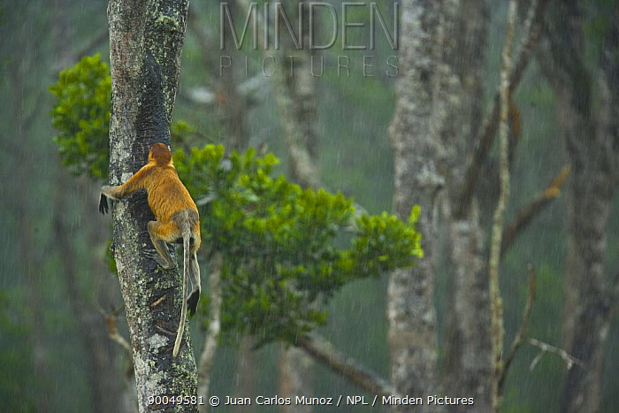 Proboscis Monkey (Nasalis larvatus) climbing trunk of lowland rainforest tree, Rio Sungai Kinabatangan, Sabah, Borneo, Malaysia  -  Juan Carlos Munoz/ npl