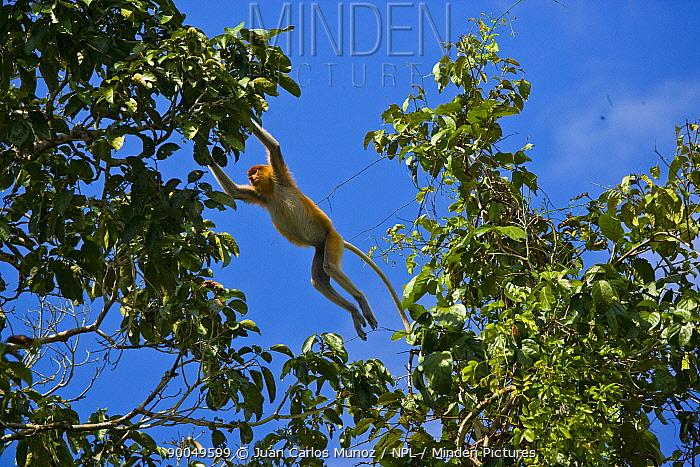 Proboscis Monkey (Nasalis larvatus) leaping through lowland rainforest trees, Rio Sungai Kinabatangan, Sabah, Borneo, Malaysia  -  Juan Carlos Munoz/ npl
