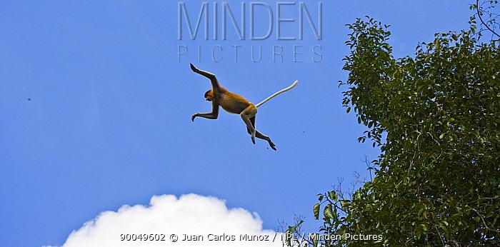 Proboscis Monkey (Nasalis larvatus) leaping from lowland rainforest trees, Rio Sungai Kinabatangan, Sabah, Borneo, Malaysia  -  Juan Carlos Munoz/ npl