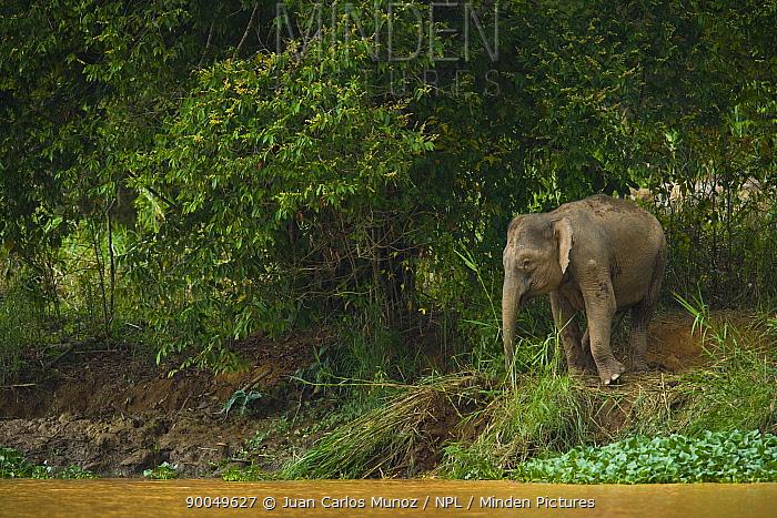 Borneo Pygmy Elephant (Elephas maximus borneensis) browsing beside water, Rio Sungai Kinabatangan, Sabah, Borneo, Malaysia  -  Juan Carlos Munoz/ npl