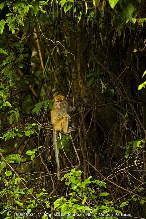 Long-tailed Macaque (Macaca fascicularis) in riverine rainforest, Rio Sungai Kinabatangan, Sabah, Borneo, Malaysia  -  Juan Carlos Munoz/ npl