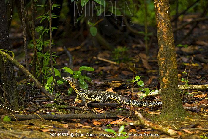 Common Water Monitor (Varanus salvator) on forest floor, Rio Sungai Kinabatangan, Sabah, Borneo, Malaysia  -  Juan Carlos Munoz/ npl