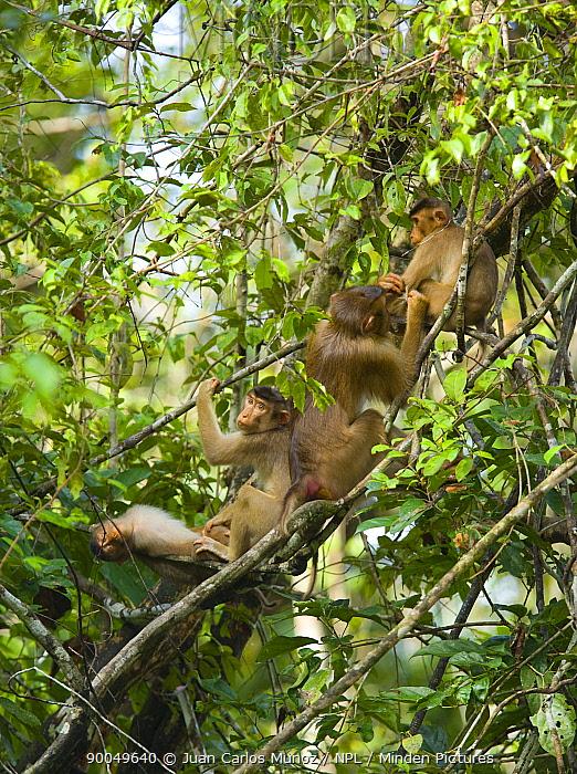 Pig-tailed Macaque (Macaca nemestrina) group grooming in rainforest, Rio Sungai Kinabatangan, Sabah, Borneo, Malaysia  -  Juan Carlos Munoz/ npl