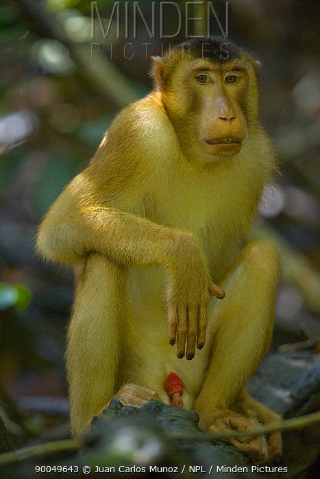 Pig-tailed Macaque (Macaca nemestrina) male sitting in rainforest, Rio Sungai Kinabatangan, Sabah, Borneo, Malaysia  -  Juan Carlos Munoz/ npl