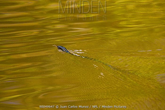 Mangrove Cat Snake (Boiga dendrophila) swimming, Rio Sungai Kinabatangan, Sabah, Borneo, Malaysia  -  Juan Carlos Munoz/ npl