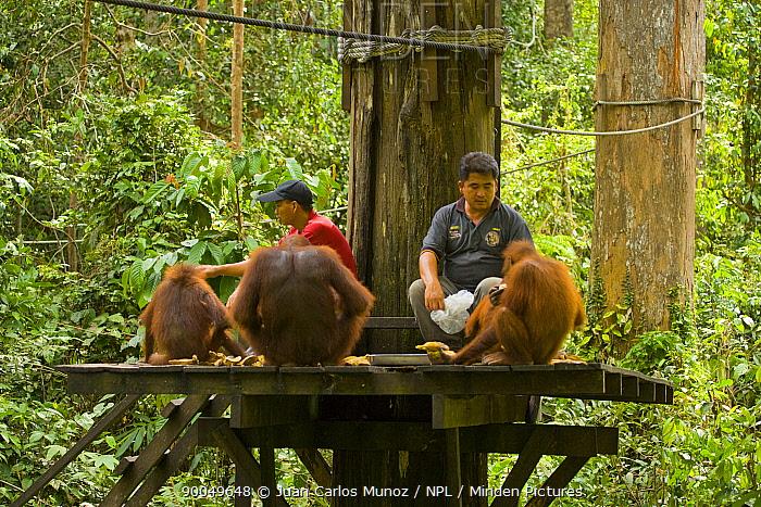 Orangutan (Pongo pygmaeus) fed by wardens at feeding station in tree, Rio Sungae Kinabatangan, Sabah, Borneo, Malaysia  -  Juan Carlos Munoz/ npl