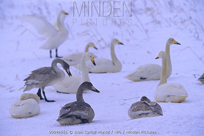 Whooper Swan (Cygnus cygnus) adults with first year cygnets in snow, Kussharo Island, Hokkaido, Japan  -  Juan Carlos Munoz/ npl