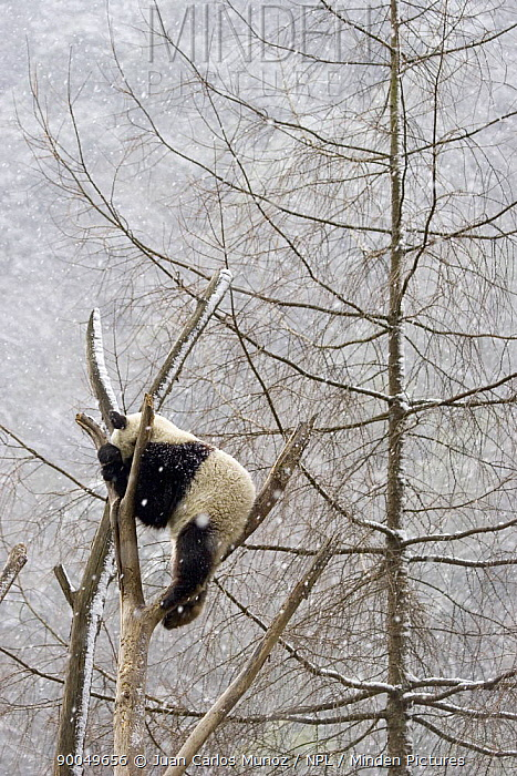 Giant Panda (Ailuropoda melanoleuca) climbing tree in snow, Sichuan, China,  -  Juan Carlos Munoz/ npl