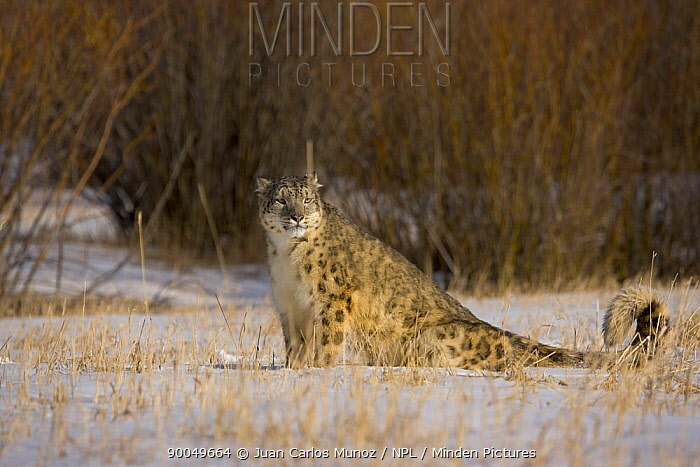 Snow leopard (Panthera uncia) sitting in snowy landscape, China, captive  -  Juan Carlos Munoz/ npl