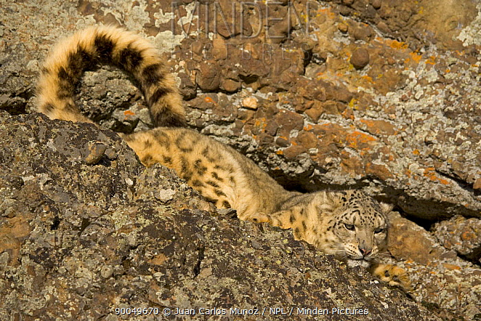 Snow leopard (Panthera uncia) camouflaged in crevice on rocky ground, China, captive  -  Juan Carlos Munoz/ npl