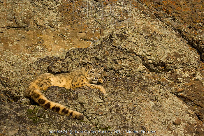 Snow leopard (Panthera uncia) on rocky ground, China, captive  -  Juan Carlos Munoz/ npl