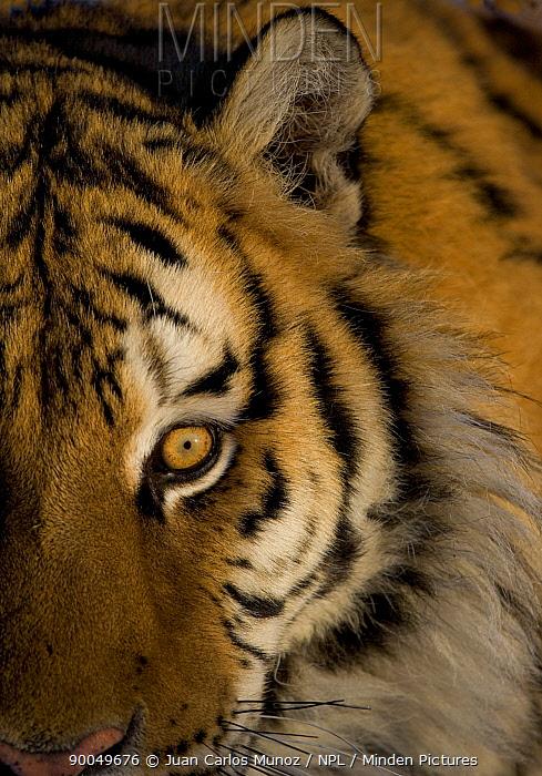 Siberian Tiger (Panthera tigris altaica) close up of face,, China,  -  Juan Carlos Munoz/ npl