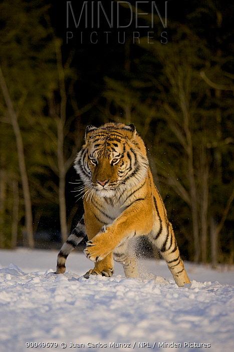 Siberian Tiger (Panthera tigris altaica) in snow, showing aggression, captive, China  -  Juan Carlos Munoz/ npl