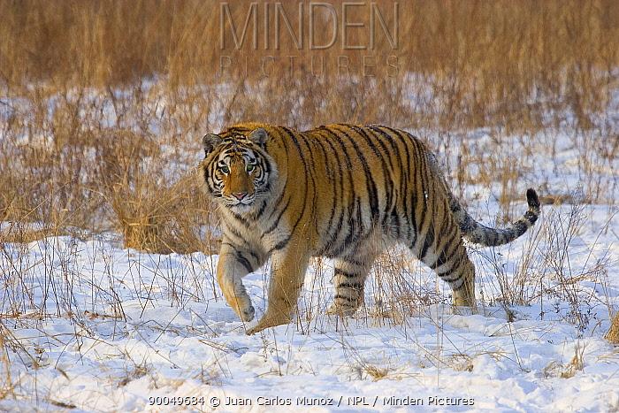 Siberian Tiger (Panthera tigris altaica) walking through snow, captive, China  -  Juan Carlos Munoz/ npl