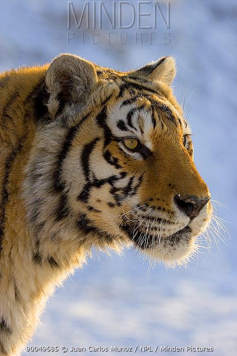 Siberian Tiger (Panthera tigris altaica) in snow, head portrait, captive, China  -  Juan Carlos Munoz/ npl