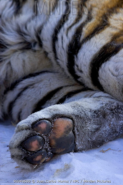 Siberian Tiger (Panthera tigris altaica) foot captive, China  -  Juan Carlos Munoz/ npl