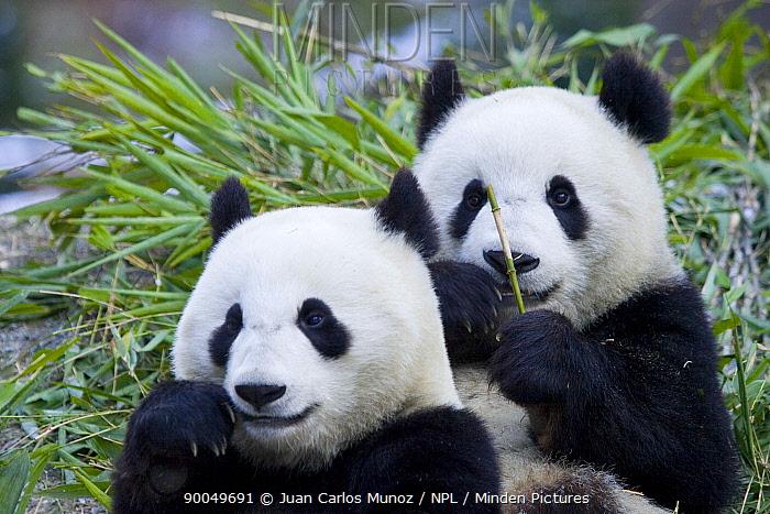 Giant Panda (Ailuropoda melanoleuca) pair Sichuan, China,  -  Juan Carlos Munoz/ npl