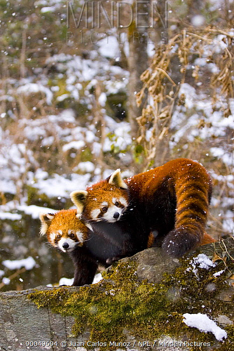 Lesser Panda (Ailurus fulgens) pair in snow, China,  -  Juan Carlos Munoz/ npl