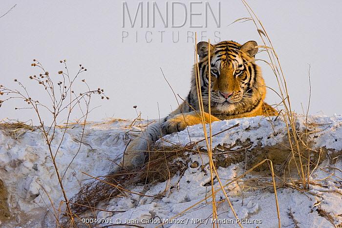 Siberian Tiger (Panthera tigris altaica) in snow, captive, China  -  Juan Carlos Munoz/ npl