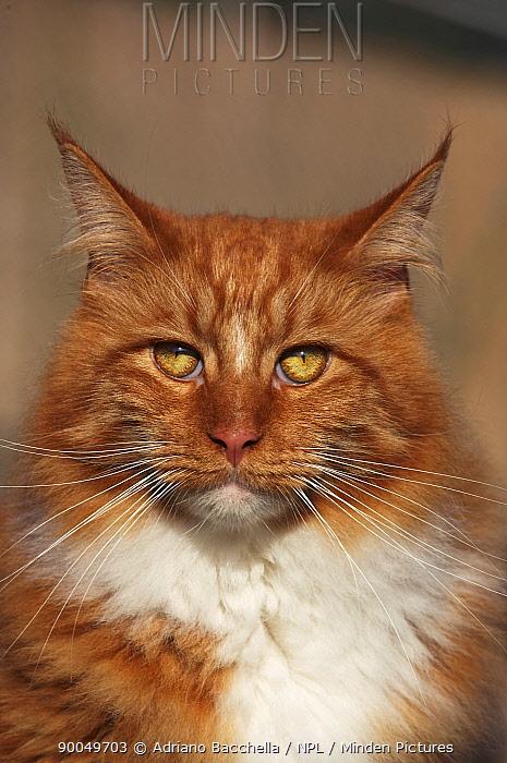 Domestic Cat (Felis catus)Maine coon red tabby cat, portrait  -  Adriano Bacchella/ npl