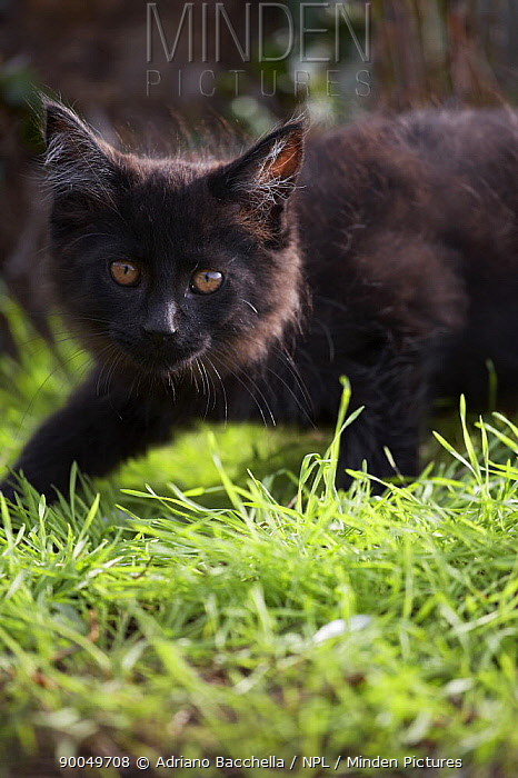 Domestic Cat (Felis catus)Maine coon black kitten walking in garden, two-months  -  Adriano Bacchella/ npl