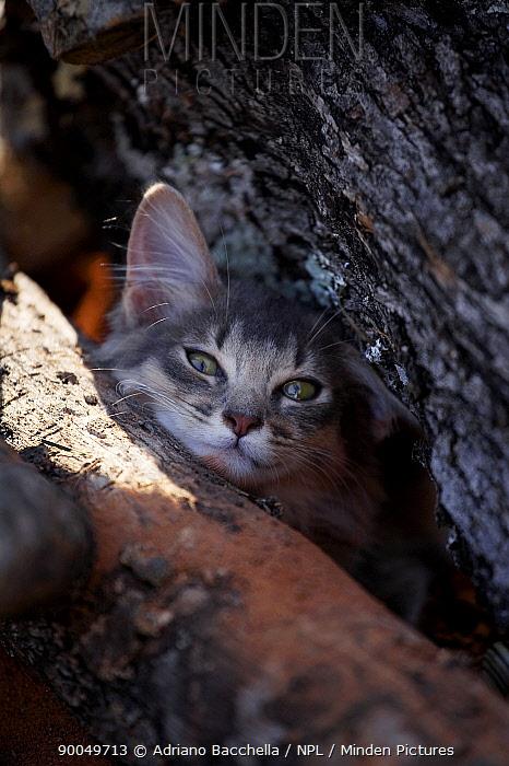 Domestic Cat (Felis catus)Somali cat in tree  -  Adriano Bacchella/ npl